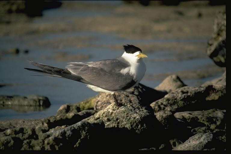 Grey and white seabird with black head plumage, standing on a rock