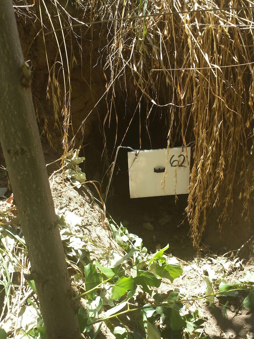 Wombat burrow with a plastic flap in front of the entrance that contains a medicated drench to help kill mites that cause mange.