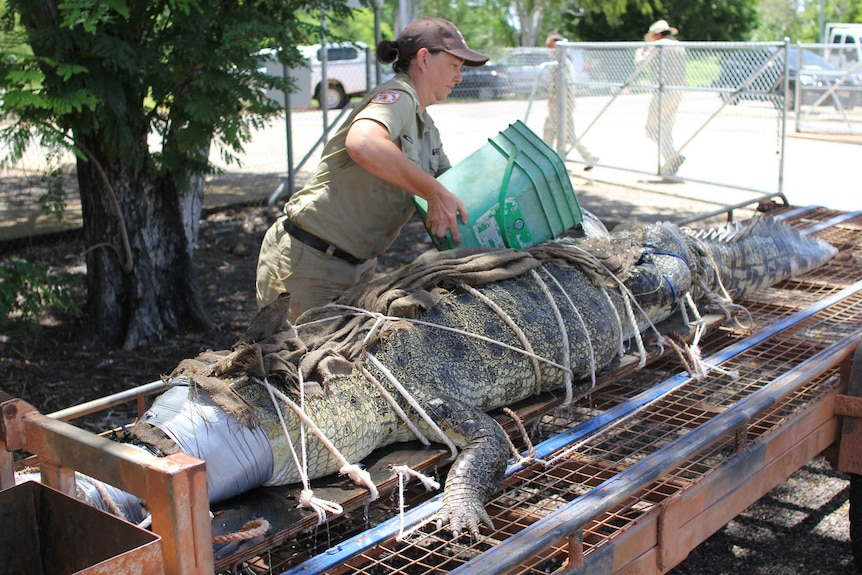 a woman pours a bucket of water on a crocodile tied to a trailer.
