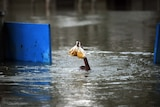 A Pakistani boy tries to keep his food dry while swimming in floodwaters