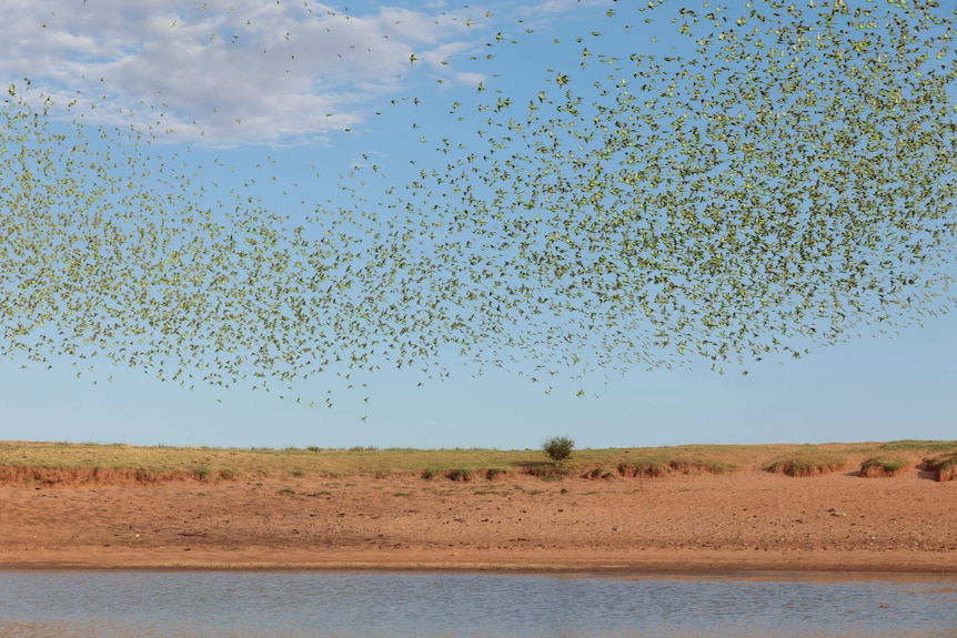 A flock of budgies swarms in the sky, above a waterhole surrounded by red dirt.