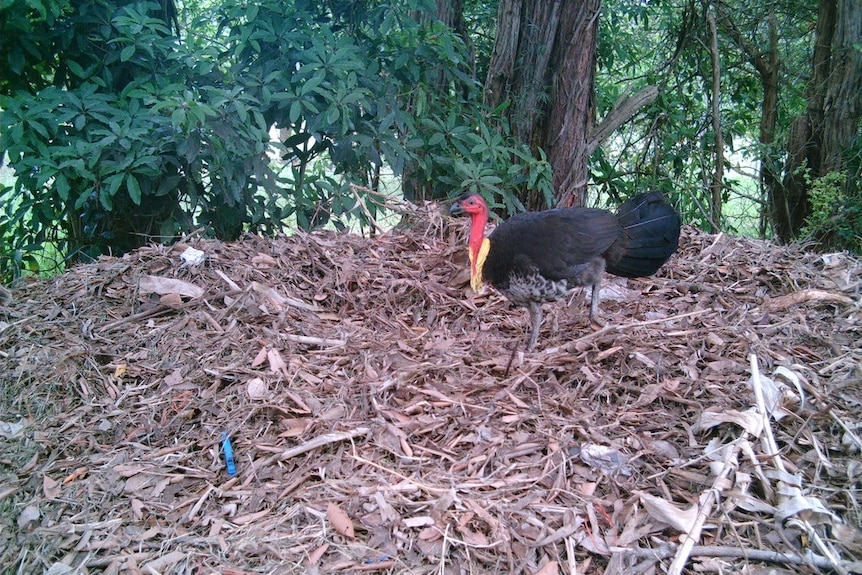 A brush turkey on top of its mound