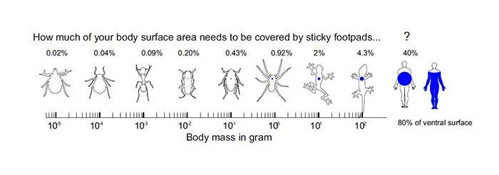 Percentage of animal's body surface covered by adhesive pads