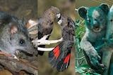 A mouse like animal, two black birds and a koala