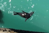 A seal swims in crystal blue waters