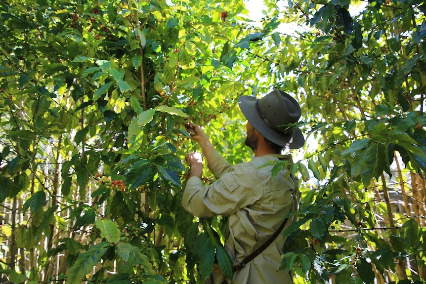 The coffee harvest at Green Lane Coffee Plantation in full swing and Liam Smith handpicks the ripe coffee beans of the trees.