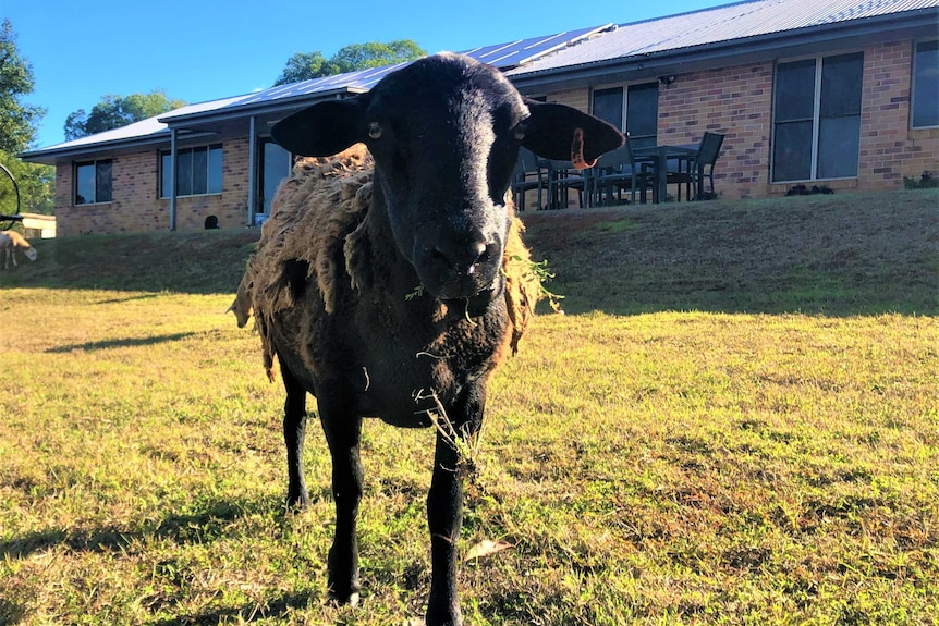 A black sheep is chewing grass and staring directly ahead. It's wool is slowly shedding off. A brick house is in the background