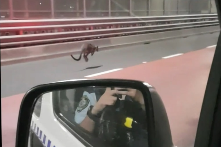 A wallaby on the Harbour Bridge, as seen from a police car.