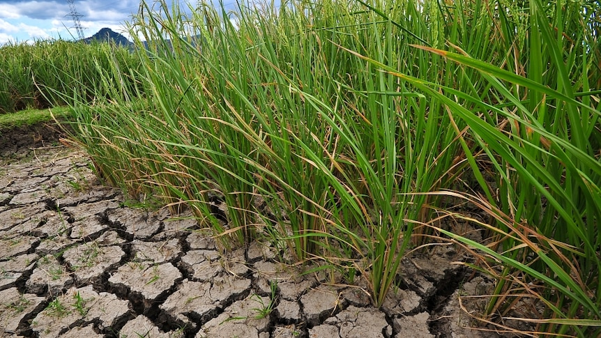 tall green stalks of rice emerge from dry, brown cracked soil against a bright blue sky