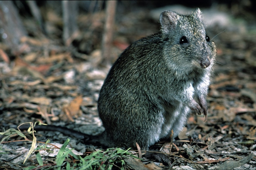 A Gilbert's Potoroo a night in the undergrowth