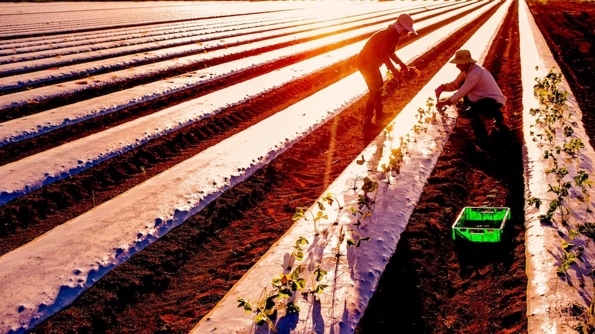 Two workers in a paddock, one kneels to plant a strawberry plant the other stands ready to hand him the next one.
