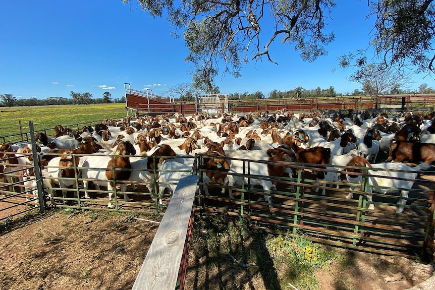 Goats penned up for drenching on a farm