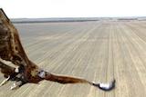 Eagle swoops on drone over WA wheat farm