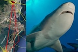 A split image showing a satellite map and a bull shark swimming through the ocean.