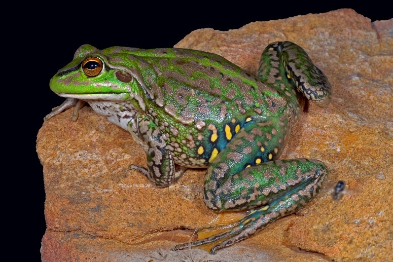 A green and brown frog with yellow spots on the legs was on a red rock at night.