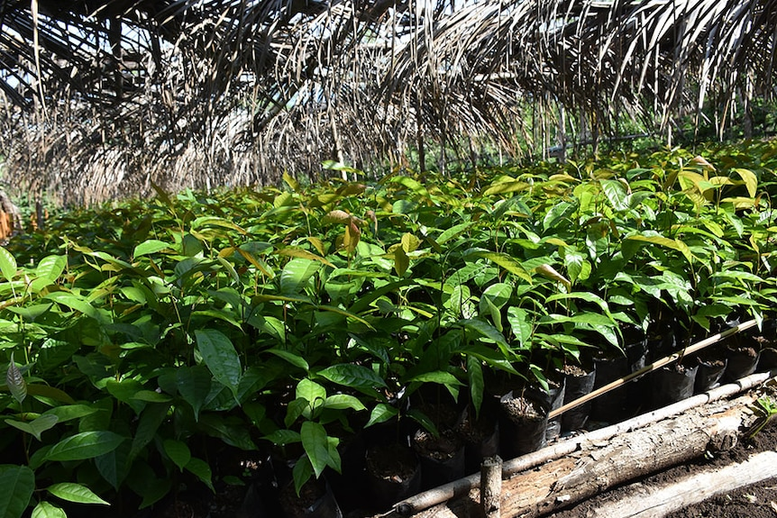 A field of coffee bean plants under a flax roof in the sunshine.