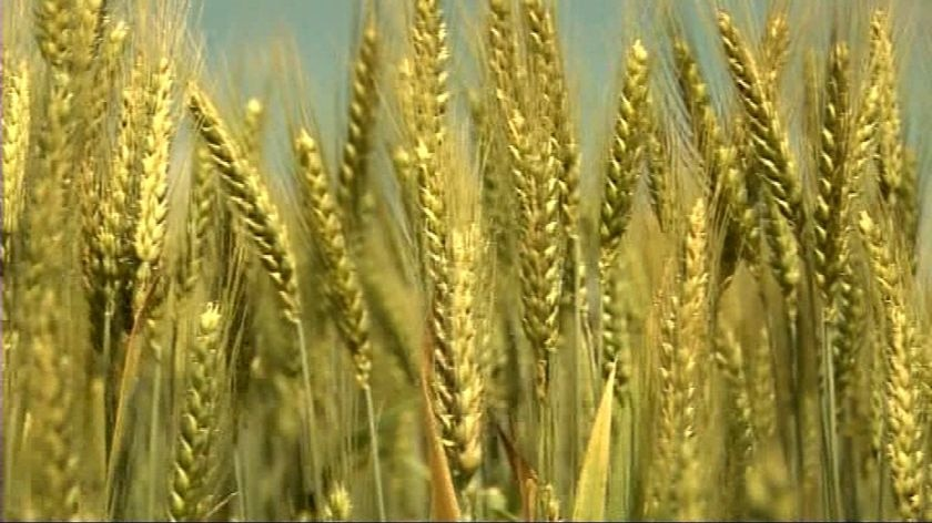 A tight close up photograph of golden coloured wheat.