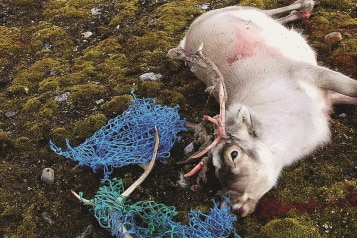 Reindeer lay on the ground with its antlers entangled in fishing nets.