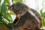 Koala in a gumtree looking at the camera through gum leaves.