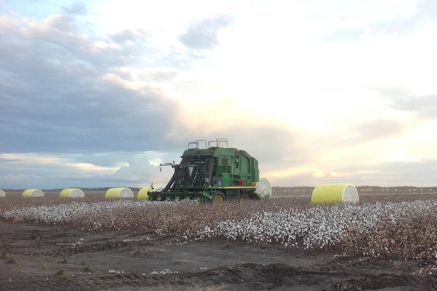 A harvesting is in a field of cotton on South Callandoon.
