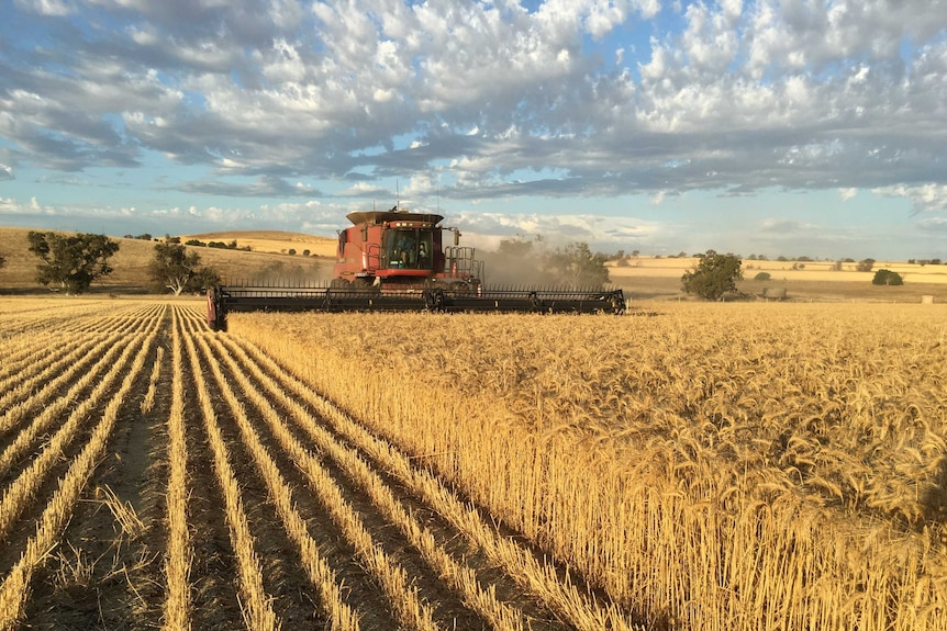 A harvester harvests a wheat crop