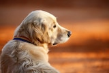 A dog sits on red dirt