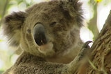 A senate inquiry has recommended more funding be set aside for research into the koala population and ways to protect them.