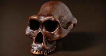 Australopithecus afarensis (Lucy) skull