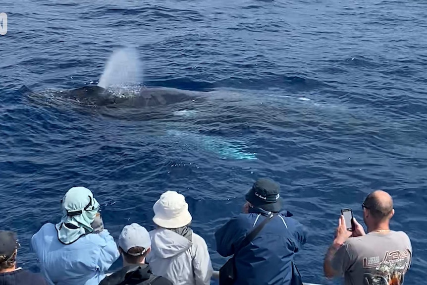 A humpback whale crests in front of a boat full of people