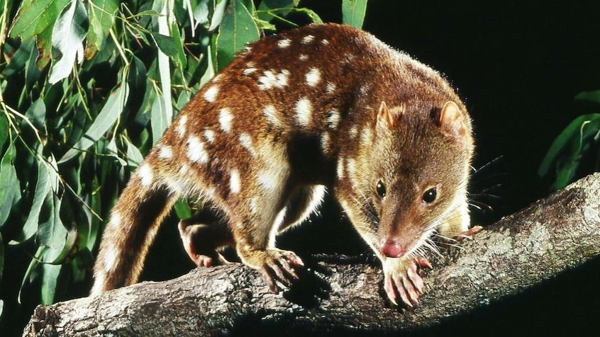 A spotted tail quoll.
