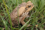 A cane toad sitting in grass.