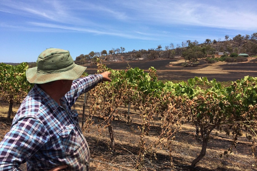Bindoon sultana farmer Peter Rogers in front of fire damaged vines and reticulation pipes.