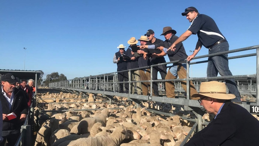 People buying and selling lambs at the saleyards.