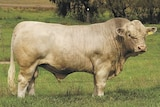 A well structured Charolais bull stands in a paddock in front of a barbed-wire fence.