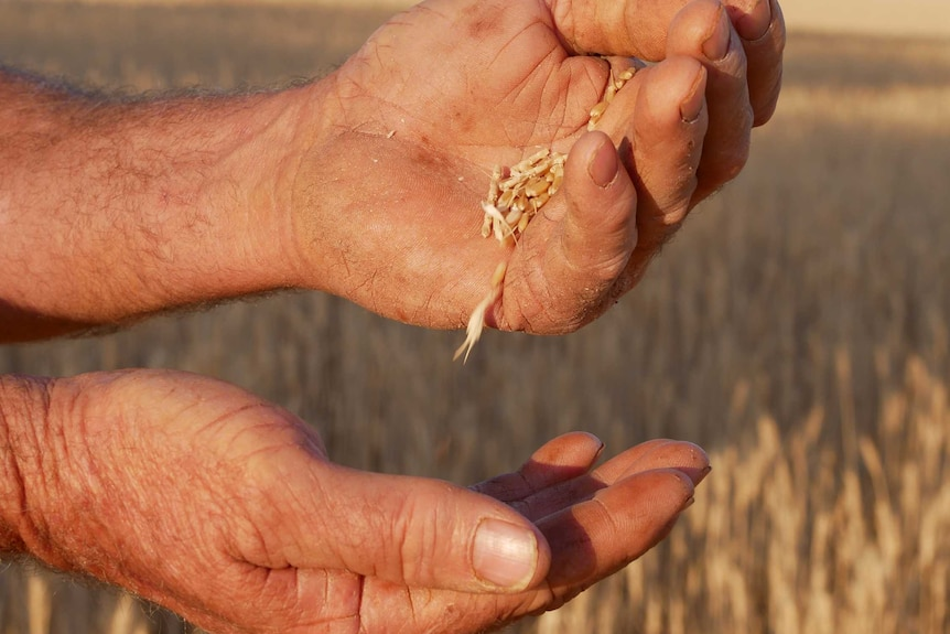 Grains of wheat running through a man's hand