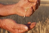Grains of wheat running through a man's hand