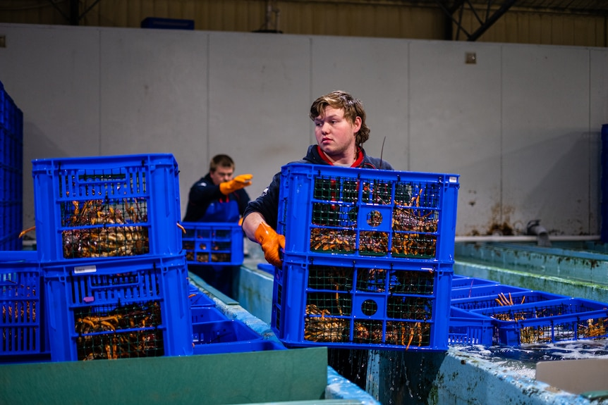 A worker at Michael Blake's lobster processing facility