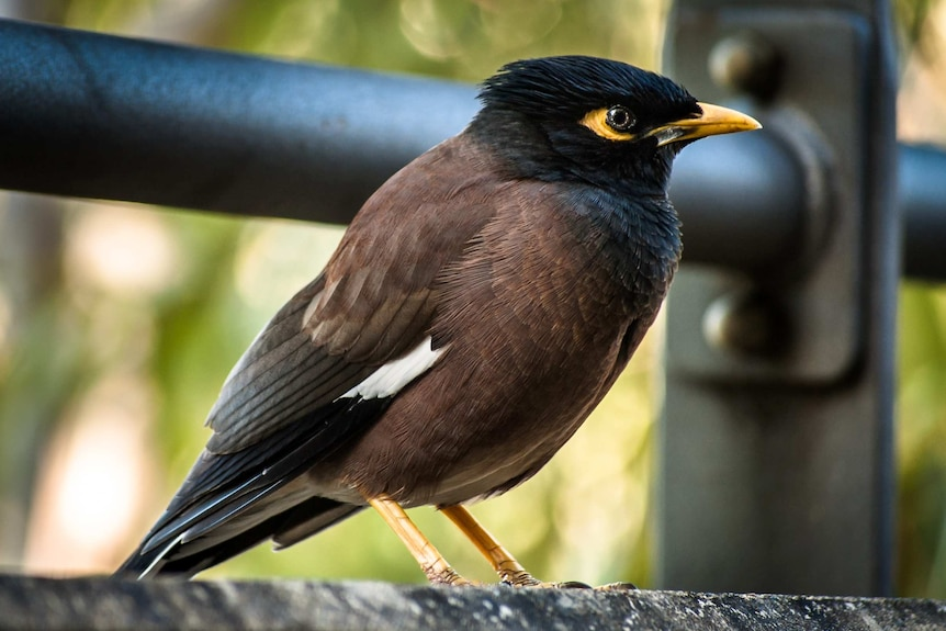 A close up Common myna in Sy