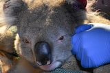 An adult koala gets a health check from a vet.
