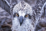 Close up of eastern osprey head and shoulders with fluffy feathers