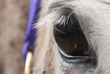 Grey rescued horse Snow's eye close-up.
