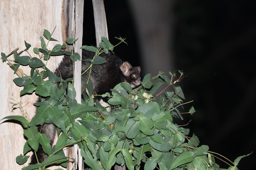 A dark grey greater glider partially hidden by green sprouting leaves off a pale gum tree.