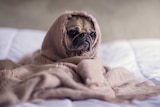 A small pug on a bed in a mesh hood