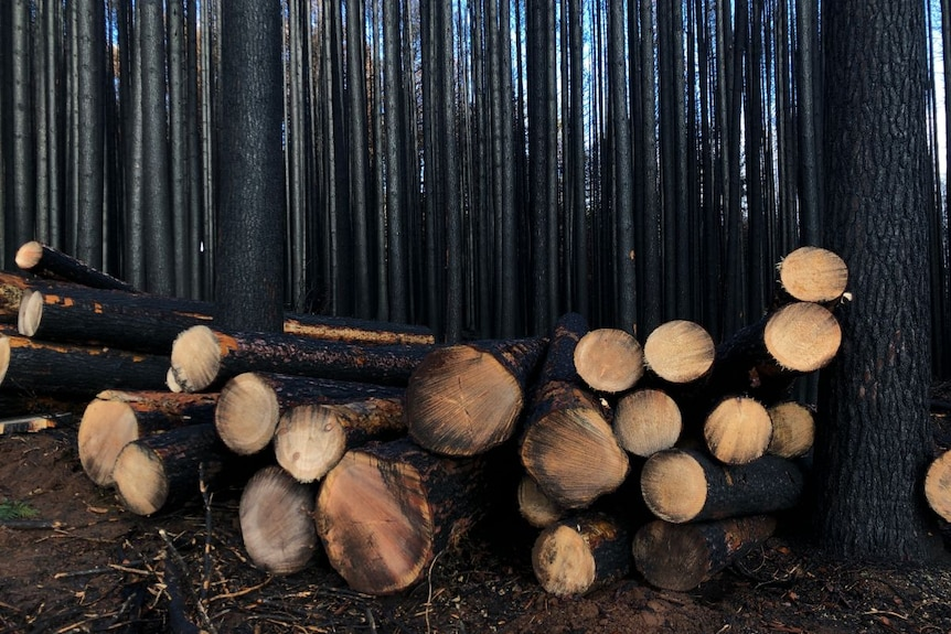 Piles of blackened logs in the middle of a black forest.