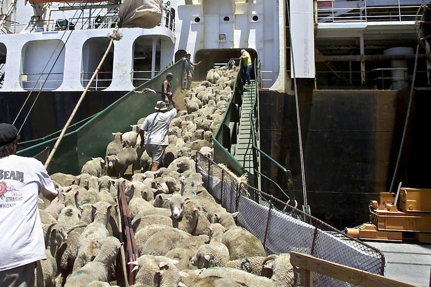 Sheep are herded into a cargo ship.