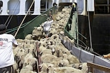Sheep are herded into a ship.