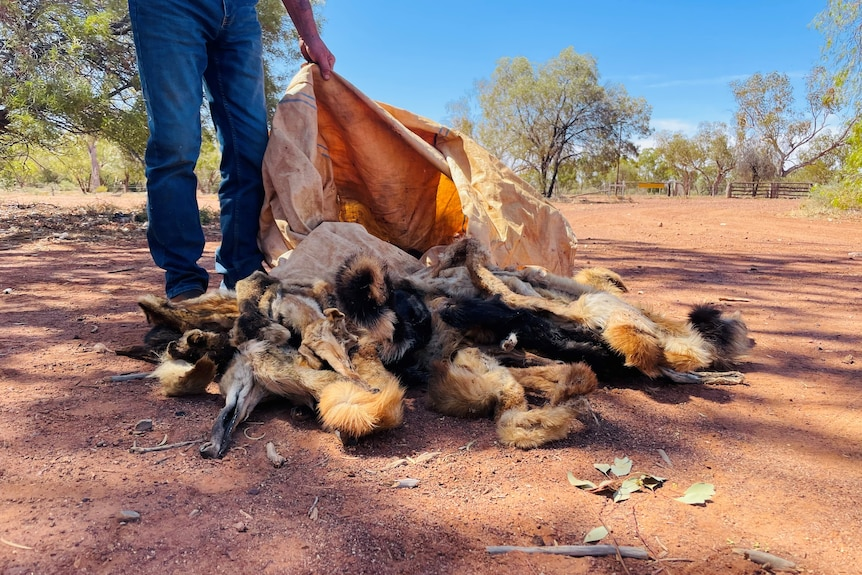 A man stands beside a bag of wild dog skins that have been emptied onto red dirt