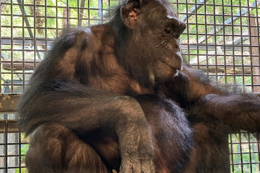 Chimpanzee sitting, looks off to the side, large baby bump, cage behind.