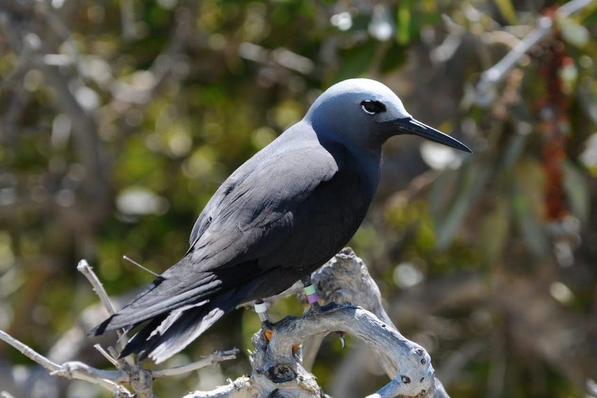 A threatened Lesser Noddy bird sits on a branch.