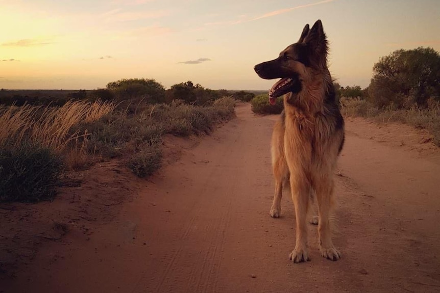 German shepherd stands on dirt road with sunset in background.